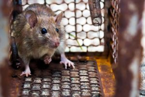 rat-was-cage-catching-rat-has-contagion-disease-humans-such-as-leptospirosis-plague-min